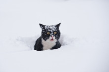 Black And White Cat Walking In The Snow.