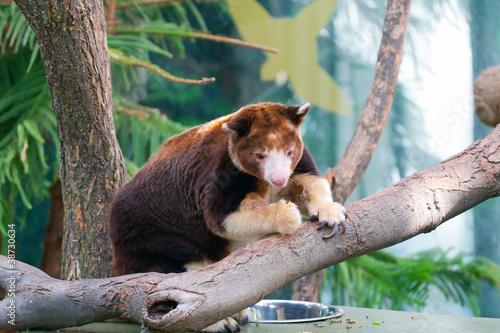 Dendrolagus kangaroo sitting in a tree