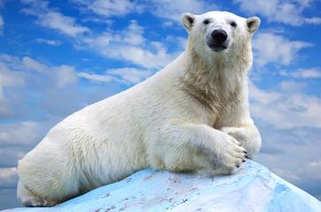 Fototapeta na wymiar polar bear