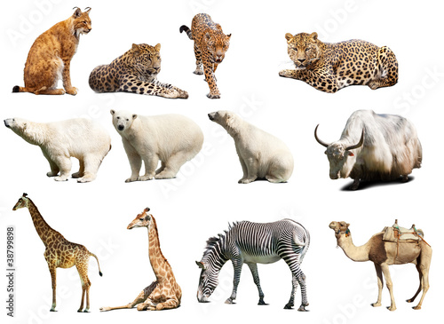 Poster Leopard Set of animals. Isolated over white