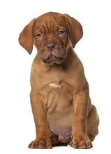 Dogue De Bordeaux Puppy, 8 Wee...