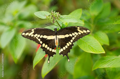 Fotografie, Obraz  Beautiful Black and Yellow Swallowtail Butterfly wings wide open
