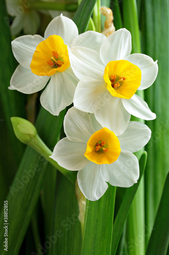 narcissus flowers Canvas Print