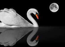 Graceful White Swan With Refle...