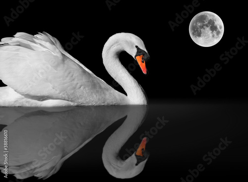 Foto op Canvas Zwaan graceful white swan with reflection under full moon