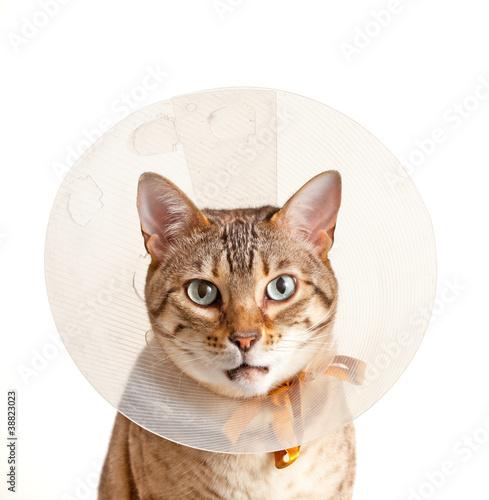 Foto op Aluminium Kat Bengal kitten with neck collar
