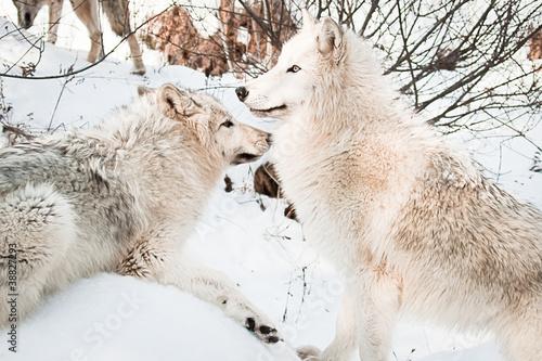 Платно  Wolves in snow