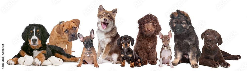 Fototapety, obrazy: large group of puppies