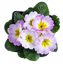 Light Pink Primrose Isolated O...