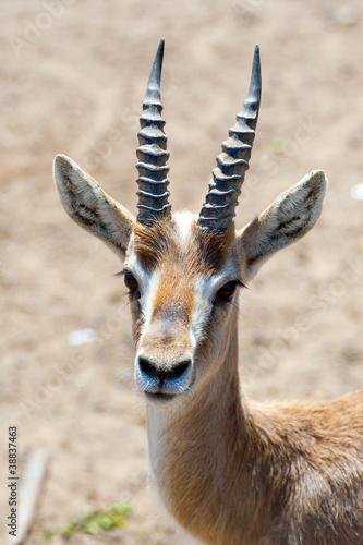 Gazelle in safari