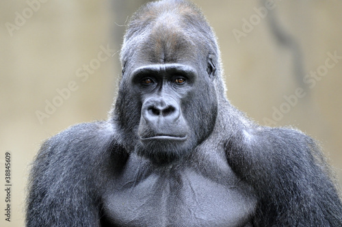 """Photo  """"Silverback Gorilla"""""""