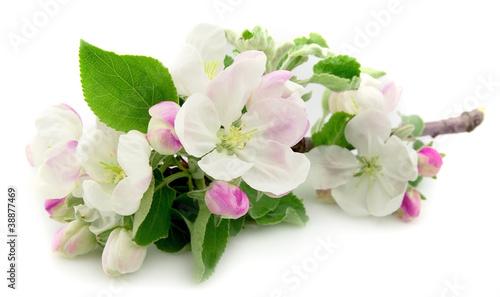 Obrazy kwiat jabłoni   kwiaty-jabloni