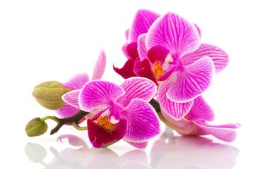 Fototapeta Tropical pink orchid