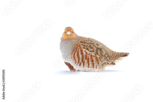 Stampa su Tela The Grey Partridge (Perdix perdix) in a winter scene