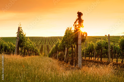 Photo sur Aluminium Vignoble Evening view of the vineyards
