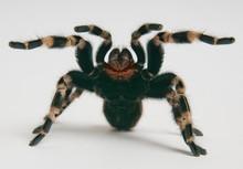 Brazilian Whiteknee Tarantula ...