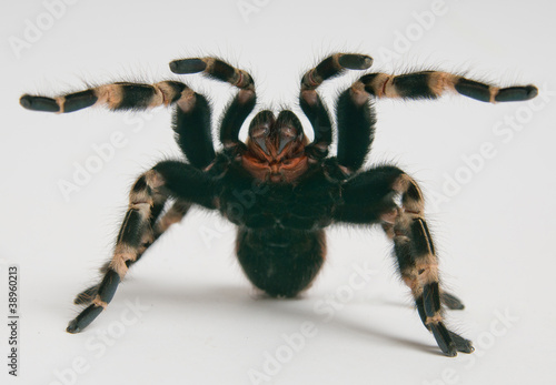 Foto Brazilian whiteknee tarantula in attacking position
