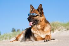 German Shepherd Laying In Sun ...