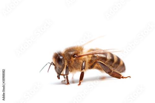 abeille Canvas Print