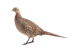 Common Pheasant Female Isolate...
