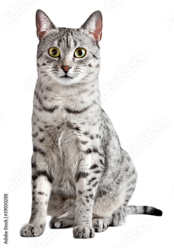 Spotted Egyptian Mau cat looking at camera