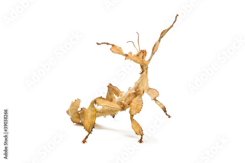 Photo  Leaf Insect stretching on a white background.