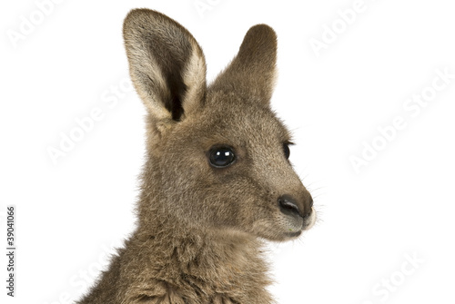 Fotobehang Kangoeroe Eastern Grey joey kangaroo on a white background.