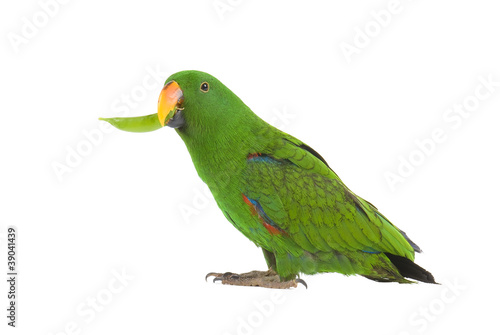 Eclectus Parrot, eating a pea pod, on white background. Canvas Print