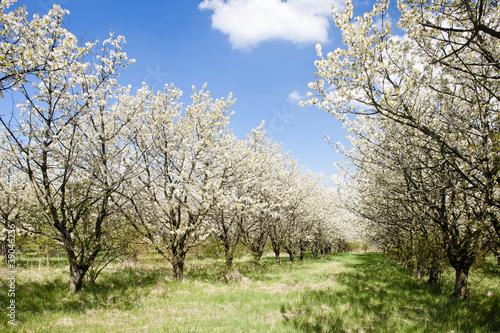 Fototapeta wiosna kwitnacy-sad-na-wiosne