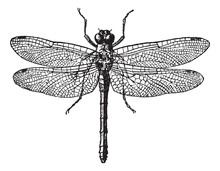 Fig 1. Dragonflies, Vintage Engraving.