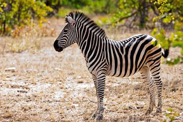 Fototapeta na wymiar Zebra in Kruger National Park, South Africa