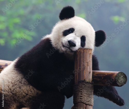 Giant panda bear looking at camera Canvas Print