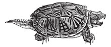 Snapping Turtle (Chelydra Serp...