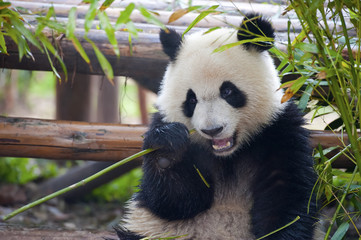 FototapetaHungry giant panda bear eating bamboo