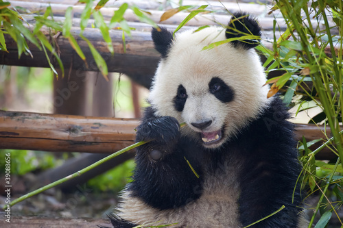 Photo  Hungry giant panda bear eating bamboo