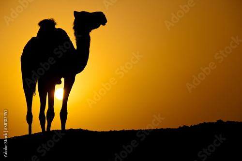 Papiers peints Chameau Sun going down in a hot desert: silhouette of a wild camel