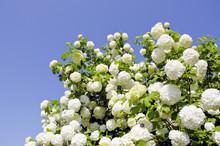 Viburnum Snowball Blooms