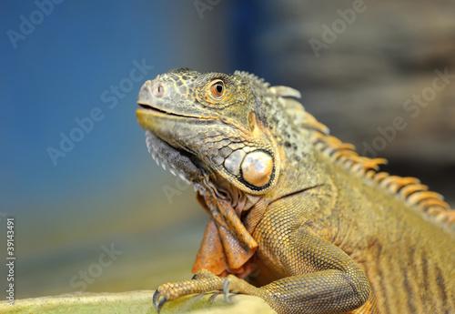 Poster Chamaleon Iguana
