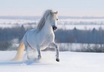 Gray Welsh pony