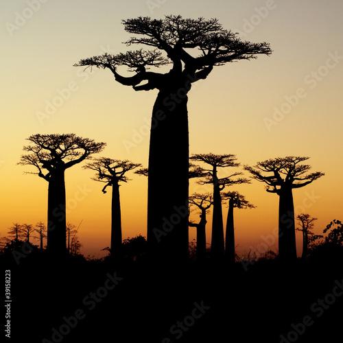 Staande foto Baobab baobab sunset silhouette