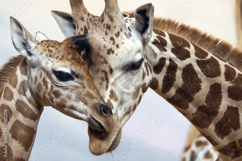 Tuinposter Giraffe Giraffes