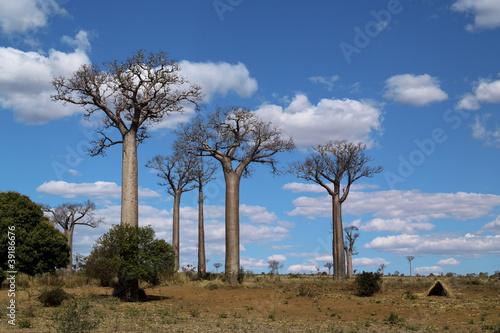 Keuken foto achterwand Baobab baobab trees