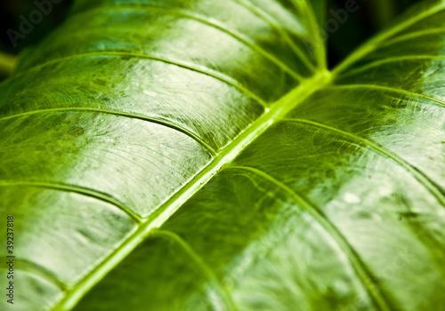 Papiers peints Cactus Texture of a green leaf as background.