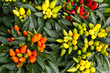 canvas print picture - Colorful ornamental decorative peppers