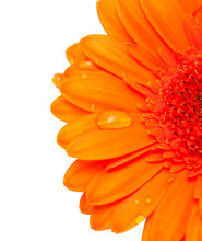 Orange Gerber Flower With Water Drops