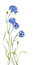 Blue Cornflower Bouquet Pattern Isolated