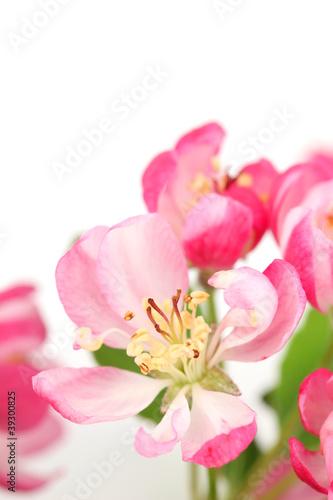 Fototapety, obrazy: Pink spring blossom isolated on white background