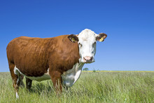 Cow Hereford, Cattle On Meadow.