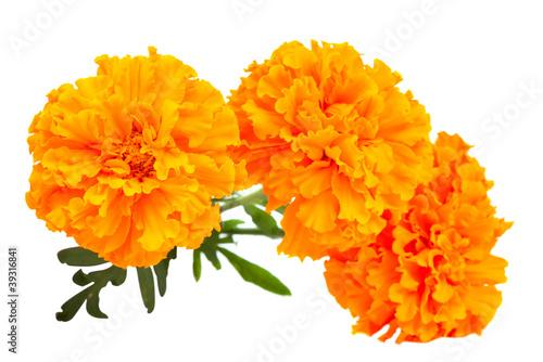 Fotografía  Marigold flower
