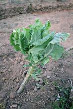 Repollo En Invierno, Brassica Oleracea Medulosa